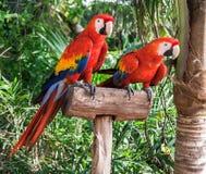 Två Colorfuls Macaws Royaltyfria Foton