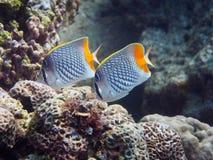 Två CrosshatchButterflyfish royaltyfri bild