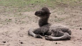 Två dagar gammal nyfödd kamel och annan stock video