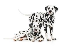 Två Dalmatian hundkapplöpning tillsammans Royaltyfria Bilder