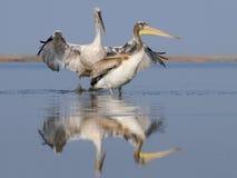 Två Dalmatian pelikan Royaltyfria Bilder