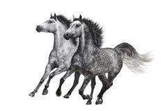 Två dapple-grå färger hästar i rörelse på vit bakgrund Arkivbild