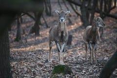 Två deers Royaltyfria Foton