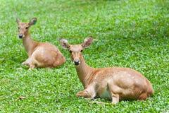 Två deers på green Arkivfoton