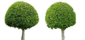 Två dekorativa buxbomträd som isoleras på vit bakgrund royaltyfri fotografi