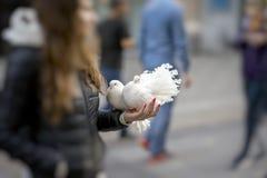 Två dekorativa vita duvor i händer av flickan, symbol av fred Par av behagfulla duvor med storartad fjäderdräkt Påfågel Arkivfoton