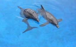 Två delfin Royaltyfria Foton