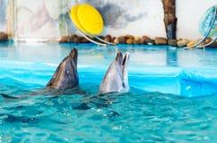 Två delfin i pölen Arkivfoto