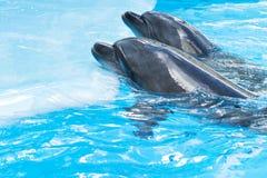 Två delfin på en plattform royaltyfria foton