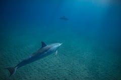Två delfin som är undervattens- i blått arkivfoton