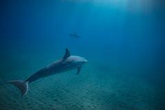 Två delfin som är undervattens- i blått royaltyfria foton