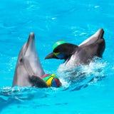 Två delfin som spelar i det blåa vattnet med bollar Fotografering för Bildbyråer