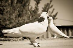 Två duvor Arkivfoto