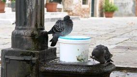 Två duvor badar i spouting vatten av springbrunnen på Italien Duvabadning lager videofilmer