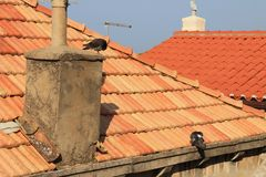 Två duvor på ett gammalt belagt med tegel tak royaltyfria bilder