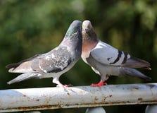 Två duvor på staketet för en kamp royaltyfri bild
