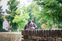 Två duvor som sitter bredvid de på en tegelstenvägg i Milan Royaltyfria Foton