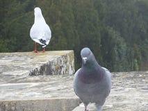 Två duvor, varje sätta sig på kanten av en tegelstenvägg Royaltyfri Fotografi