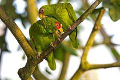 Två dvärgpapegojor, Agapornisspecifikation , papegoja arkivbild