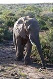 Två elefanter Royaltyfri Fotografi