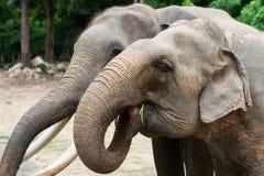 Två elefanter i Thailand Fotografering för Bildbyråer