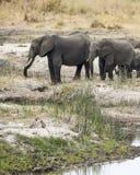Två elefanter med två Vervet apor i förgrunden Arkivbild