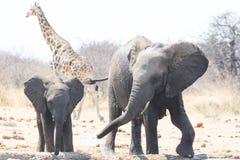 Två elefanter och en giraff på waterhole Fotografering för Bildbyråer