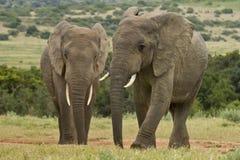 Två elefanter på ett vattenhål arkivfoton