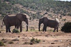 Två elefanter på ett waterholedricksvatten på en solig dag i Addo Elephant Park i Colchester, Sydafrika Royaltyfri Foto