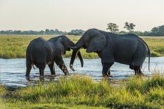 Två elefanter som brottas i floden på skymning Arkivfoton