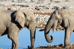 Två elefanter som dricker på Okaukuejo Waterhole arkivbild