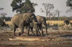 Två elefanter som går att dricka, Botswana royaltyfri bild
