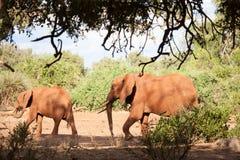 Två elefanter som går, på safari i landskapet Arkivbild