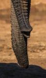 Två elefanter som slår in deras stammar på Addo Elephant Park arkivfoto