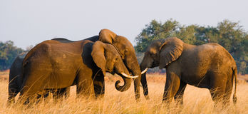 Två elefanter som spelar med de zambia Fäll ned den Zambezi nationalparken Royaltyfria Foton