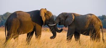 Två elefanter som spelar med de zambia Fäll ned den Zambezi nationalparken Fotografering för Bildbyråer