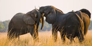 Två elefanter som spelar med de zambia Fäll ned den Zambezi nationalparken Arkivbild