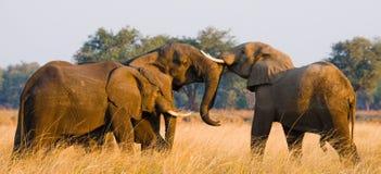 Två elefanter som spelar med de zambia Fäll ned den Zambezi nationalparken Royaltyfri Fotografi