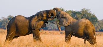 Två elefanter som spelar med de zambia Fäll ned den Zambezi nationalparken Royaltyfria Bilder