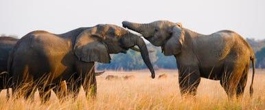 Två elefanter som spelar med de zambia Fäll ned den Zambezi nationalparken Royaltyfri Bild