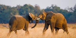 Två elefanter som spelar med de zambia Fäll ned den Zambezi nationalparken Royaltyfri Foto