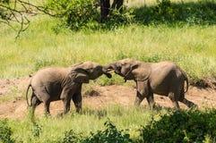 Två elefanter som spelar med deras horn, vänder mot - - framsidan i Samburu parkerar arkivfoto