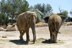 Två elefanter vilar i den lösa Afrika safari Royaltyfri Foto