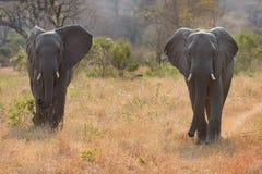 Två elefanttjurar som går till och med busken Arkivfoto
