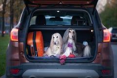Två eleganta afghanska hundar i bilen arkivbild