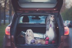 Två eleganta afghanska hundar i bilen, arkivbilder