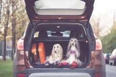 Två eleganta afghanska hundar i bilen, royaltyfri fotografi