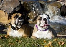 Två engelska bulldoggar som poserar vid en vattenfall arkivfoto