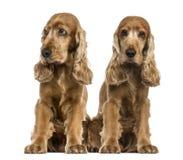 Två engelska cockerspaniels Arkivbilder