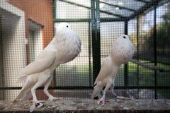 Två engelska Pouters i en bur Royaltyfri Bild